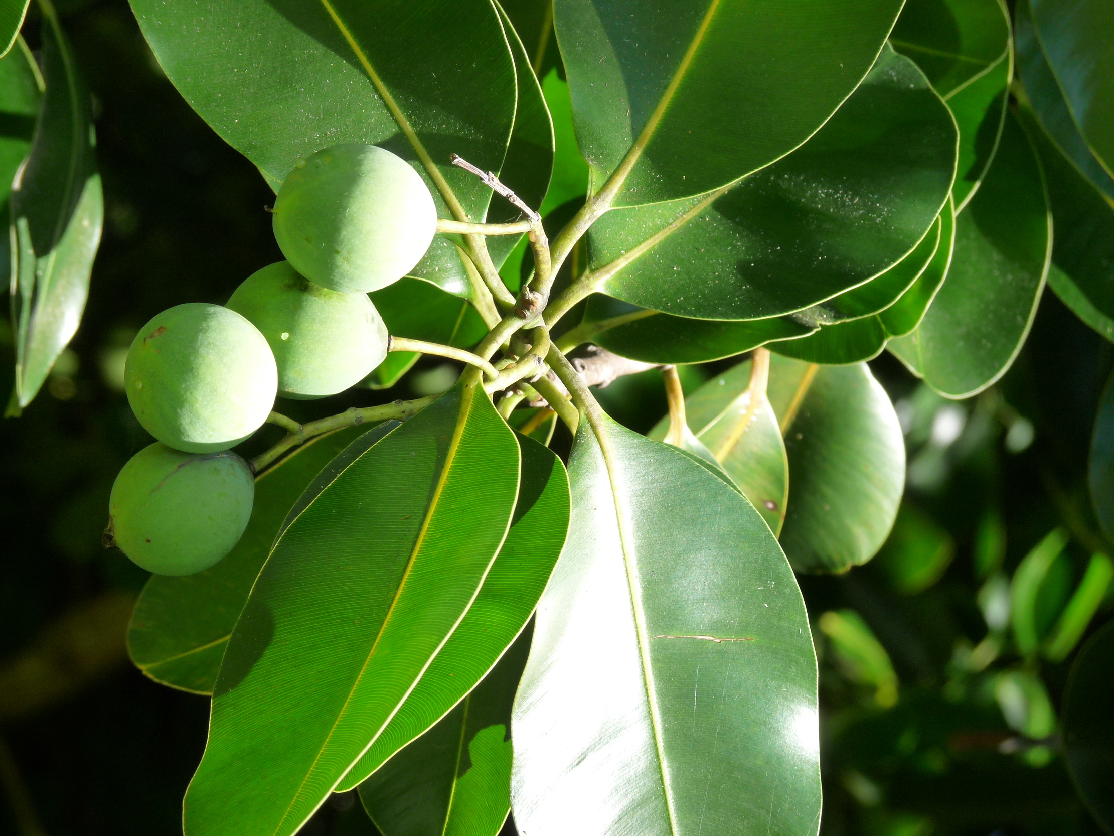 Fruits de Calophylle / Tamanu