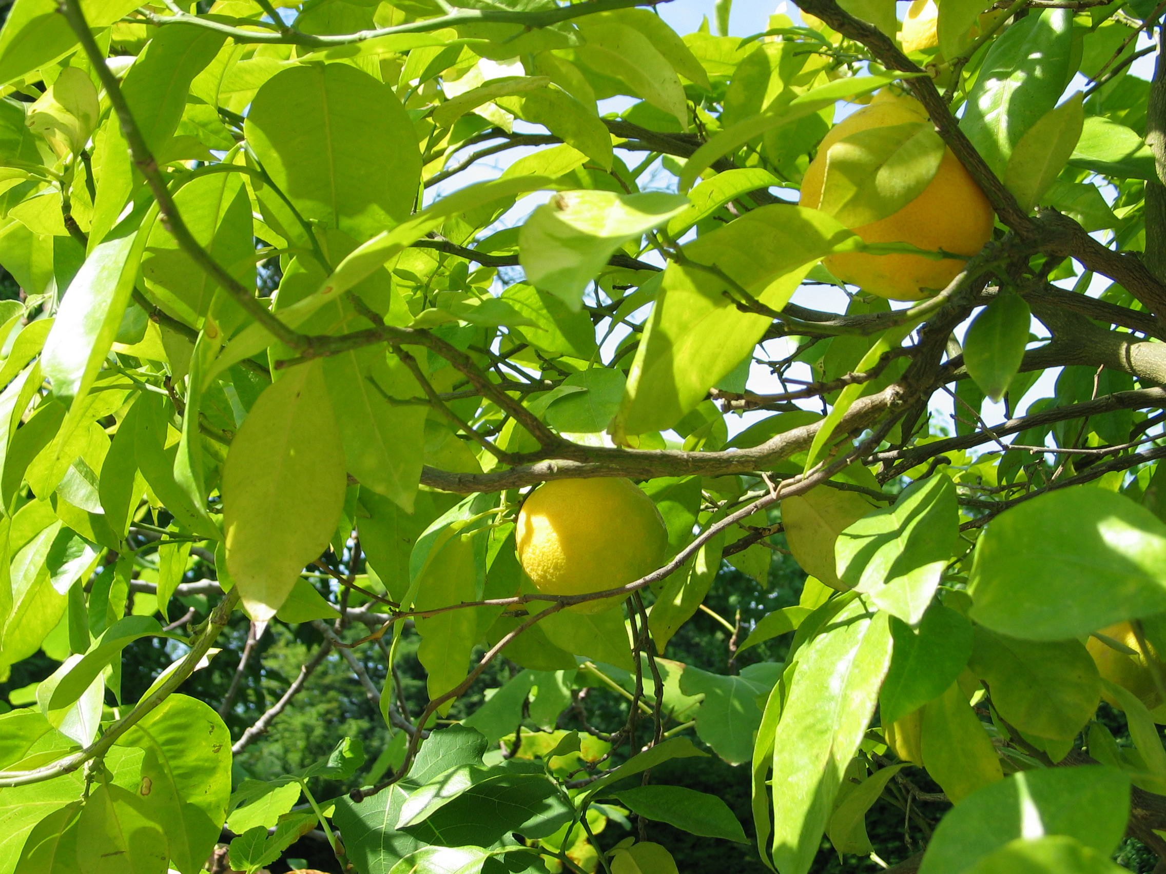 le citron, fruit du citronnier
